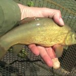 Little Tench on the tip
