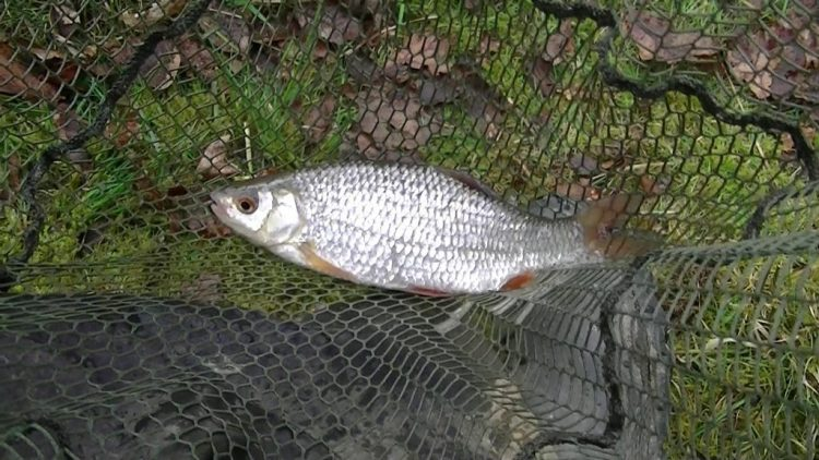 Read more about the article Float fishing for winter Roach – lake