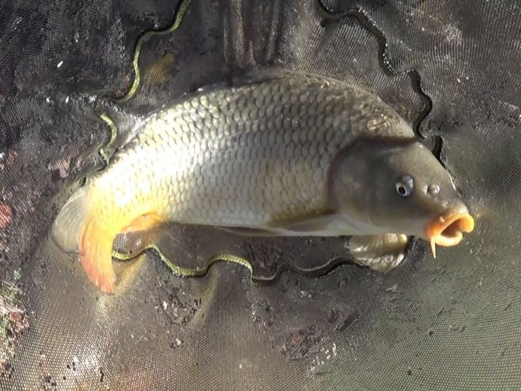 Winter carp micro feeder fishing